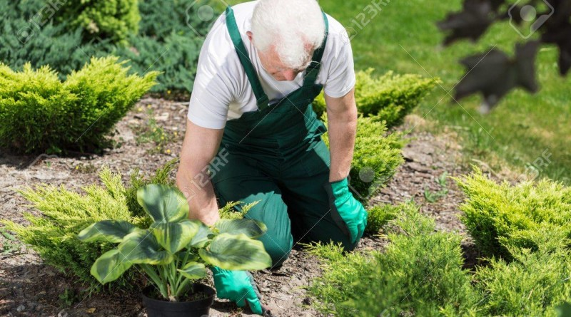 Senior gardener is trying to plant flower