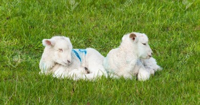 Two baby lambs lie down on green meadow
