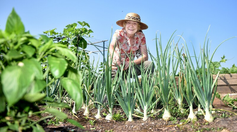 Sher Leetooze surveys a patch of onions at the Bowmanville Allotment Community Gardens. Gardeners hold their first open house at their new site on Haines Road in early August. July 26, 2021